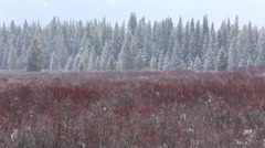 Snowing on Willow Shrubs and Spruce Trees - stock footage