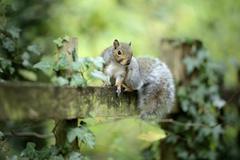 Grey squirrel, Sciurus carolinensis, sitting on wooden slat Stock Photos