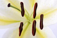 Lily anther and pollen - stock photo