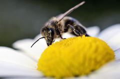 Honey bee, Apis, on a blossom - stock photo