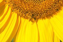 Honey Bee on Sunflower - stock photo
