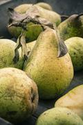 Stock Photo of Windfall pears, Pyrus Communis
