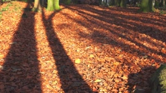 Sunshine and shadows from tall trees over golden autumn beech forest floor Stock Footage