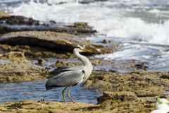 United Kingdom, England, Northumberland, Grey Heron, Ardea cinerea Stock Photos
