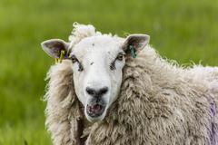 Portrait of bleating sheep Stock Photos