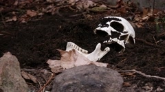 Handheld Shot of Human Remains in Shallow Grave Arkistovideo