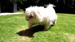 A white maltese dog running on the grass Stock Footage