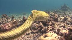 Honeycomb moray eel swimming Kuredu Maldives Stock Footage