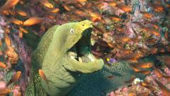 Speckled moray eel Malpelo Colombia Stock Footage