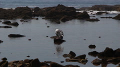 Seagull In Tidepools Stock Footage