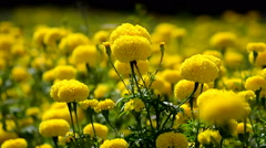 Marigold flowers Stock Footage