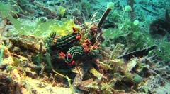 Nambrotha kubaryana nudibranch Negros Philippines Stock Footage