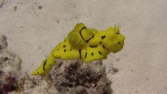notodoris minor nudibranch Palau Micronesia - stock footage
