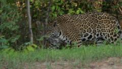 Jaguar walking, Pantanal, 60fps Stock Footage