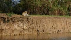 Jaguar resting, Pantanal, 60fps Stock Footage
