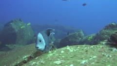 Stock Video Footage of unknown blue fish Revillagigedos Islands Mexico