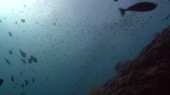 Unknown little fish shoal Kuredu Maldives Stock Footage