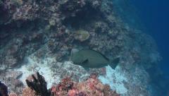 Bumphead parrotfish Palau Micronesia Stock Footage