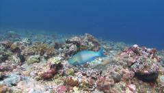 queen parrotfish Palau Micronesia - stock footage