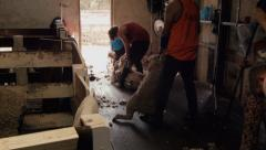 Shearer Preparing A Sheep Ready To Shear Stock Footage