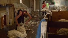 Sheep Shearing In Action Stock Footage