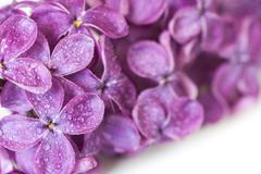Stock Photo of dewy lilac
