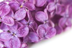dewy lilac - stock photo