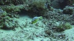 Blackspottet pufferfish Tubbataha Reef Philippines Stock Footage