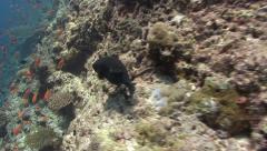 Whitespottet pufferfish Kuredu Maldives Stock Footage