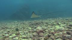 White-spottet eagle ray Malpelo Colombia Stock Footage