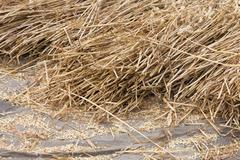 cereals at a threshing floor - stock photo