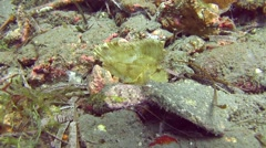 Leave scorpionfish Similan Island Thailand Stock Footage