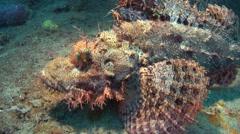 Tasseled scorpionfish Palawan Philippines Stock Footage
