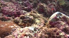 Tasseled scorpionfish Kuredu Maldives Stock Footage