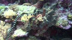 Banded sea snake Palau Micronesia Stock Footage