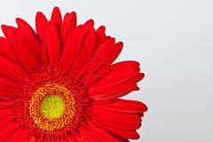 red gerbera daisy - stock photo