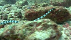 Banded sea snake Similan Islands Thailand seasnake Stock Footage