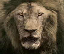 Close up face of male lion dangerous african safari animals king of wildernes Stock Photos