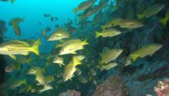 Blue striped snapper Malpelo Colombia Stock Footage