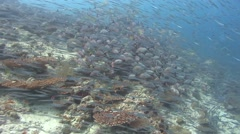 Humpback snapper and others Kuredu Maldives Stock Footage