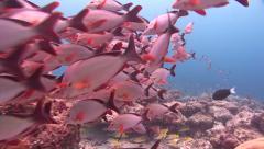 Humpback snapper shoal Kuredu Stock Footage