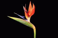 4K. Blooming Strelitzia flower buds ALPHA matte, Ultra HD Stock Footage