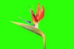 4K. Blooming Strelitzia flower buds green screen, Ultra HD Stock Footage
