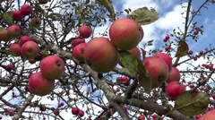 Apple Tree with mellow fruits - stock footage