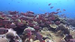 Blotcheye soldierfish Palau micronesia Stock Footage