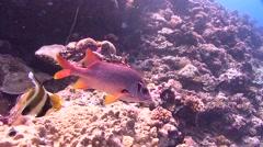 emperor fish Palau Micronesia - stock footage