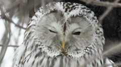 Ural owl sits on a tree in natural habitat. Stock Footage