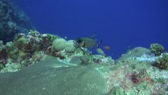 soldierfish Palau micronesia - stock footage