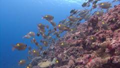 Striped large-eye bream shoal Palau Micronesia Stock Footage