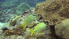 foxface rabbitfish Palau Micronesia - stock footage
